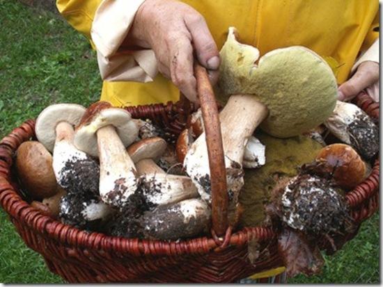 Tolmezzo: permessi anche online per la raccolta dei funghi in Carnia e a Sappada